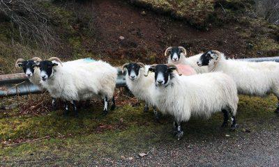 Schafe an Wegesrand