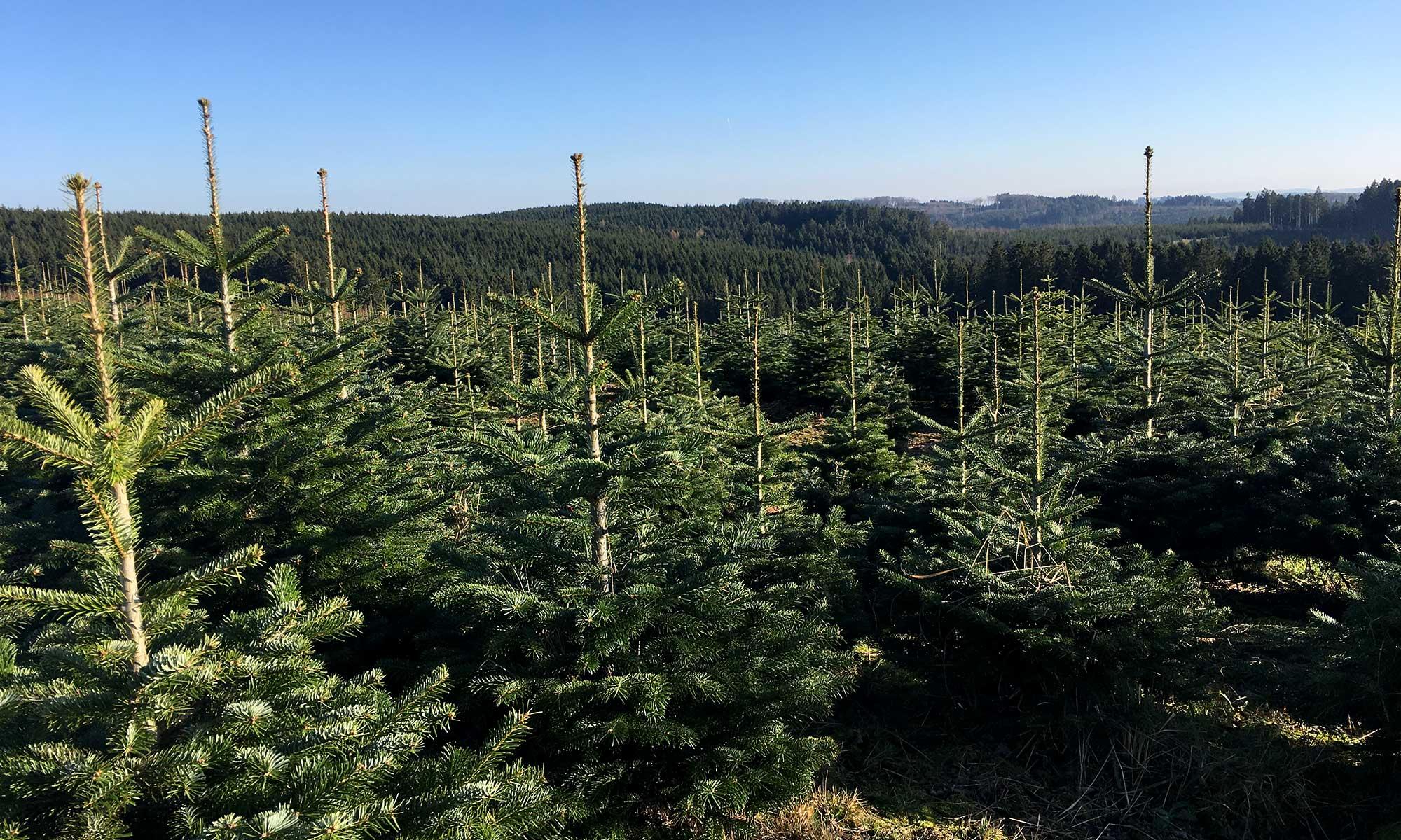 Im Tannenbaumwald bei Sundern