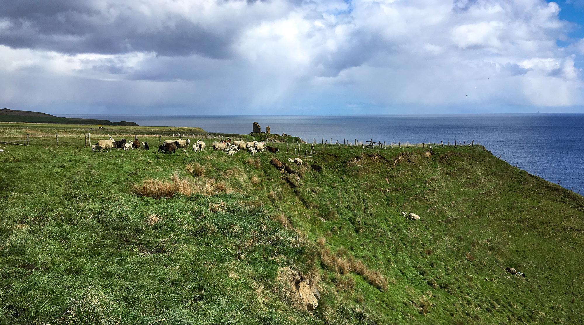 Schafe an einer Klippe bei Lybster