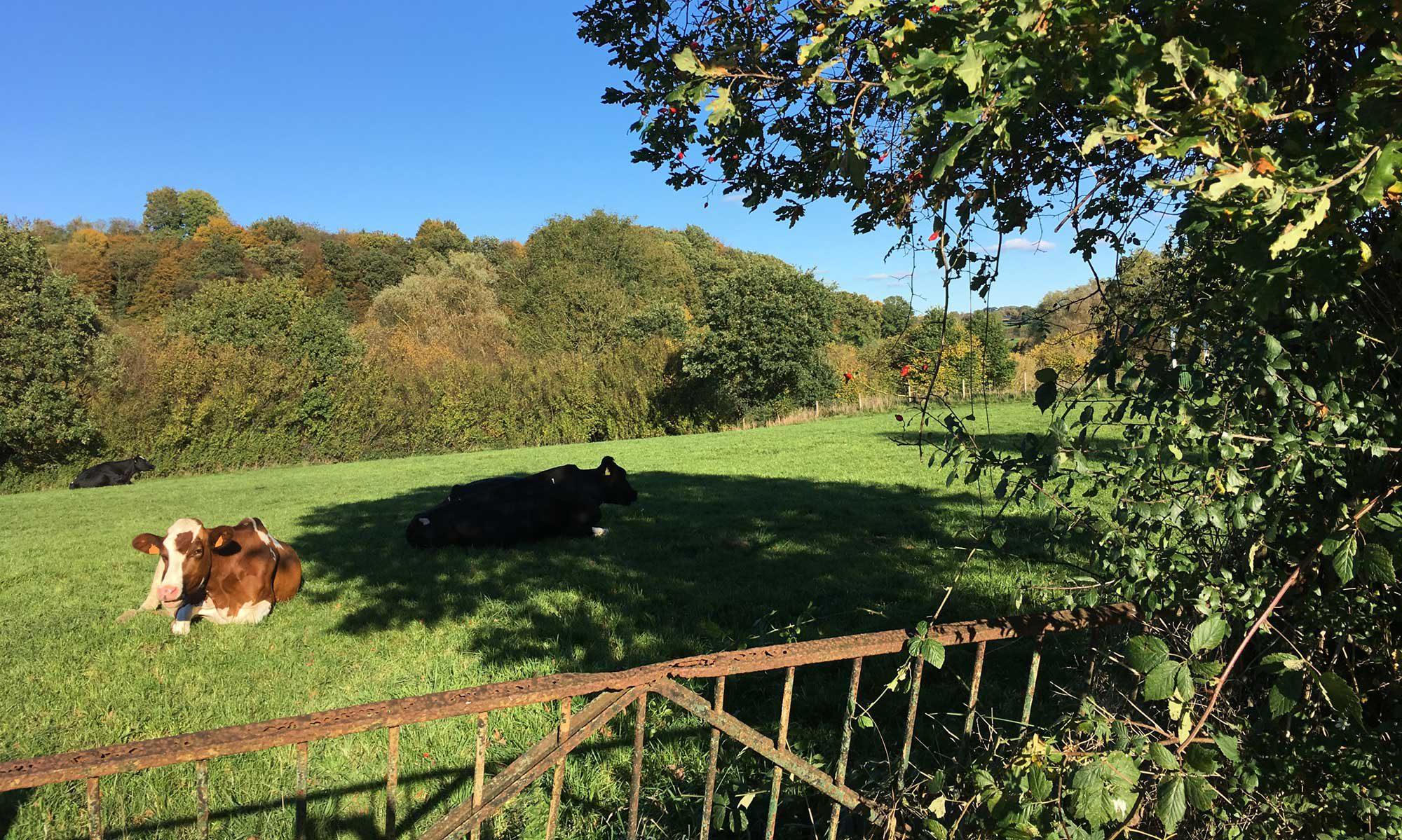 Heckenweg Eupen mit Kuh