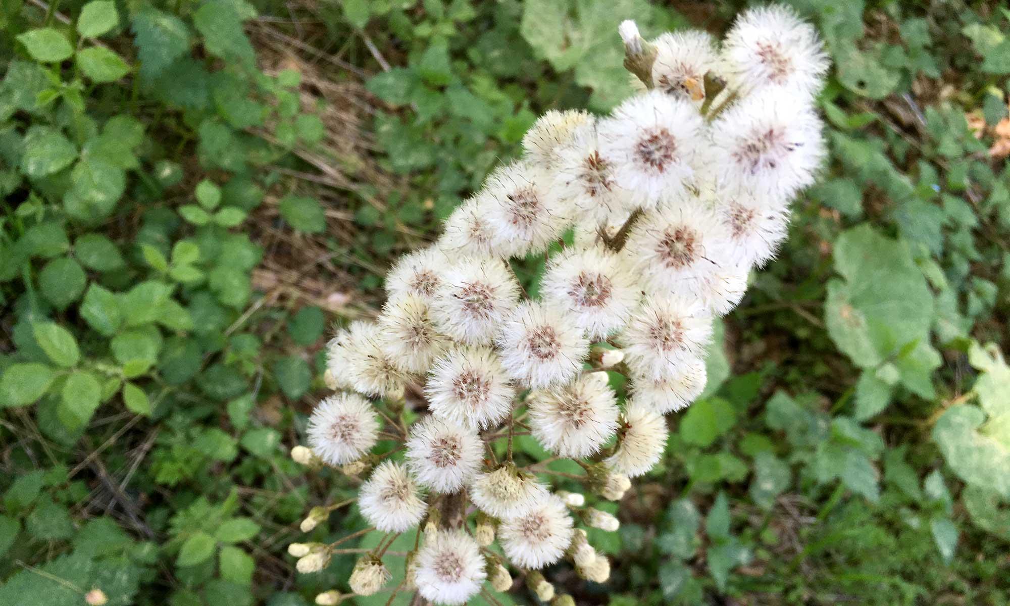 Sauerländer Waldroute Knickwerweg Pestwurz Blüte