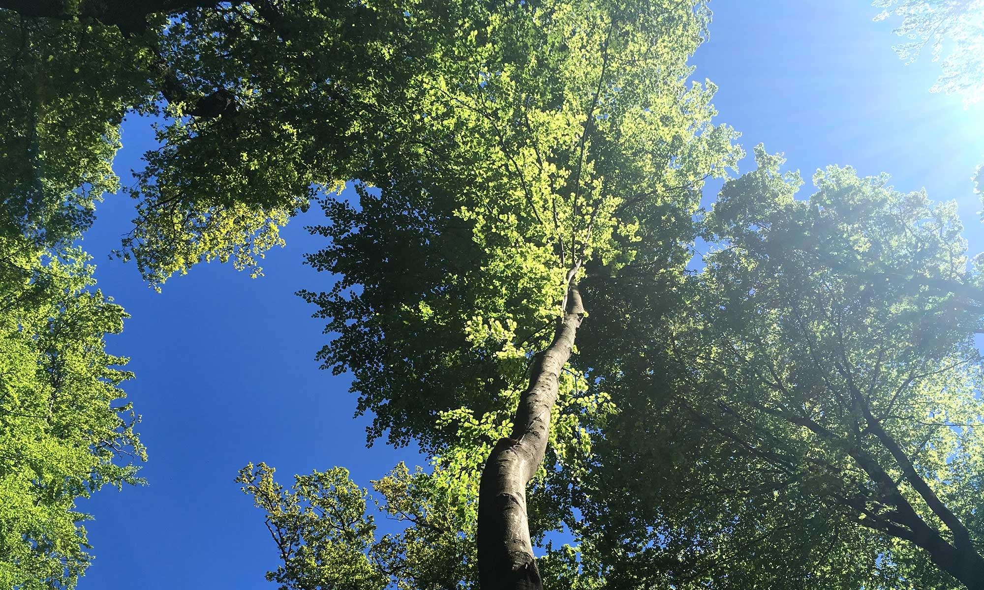 Sauerländer Waldroute Hirschberg Baumkronen