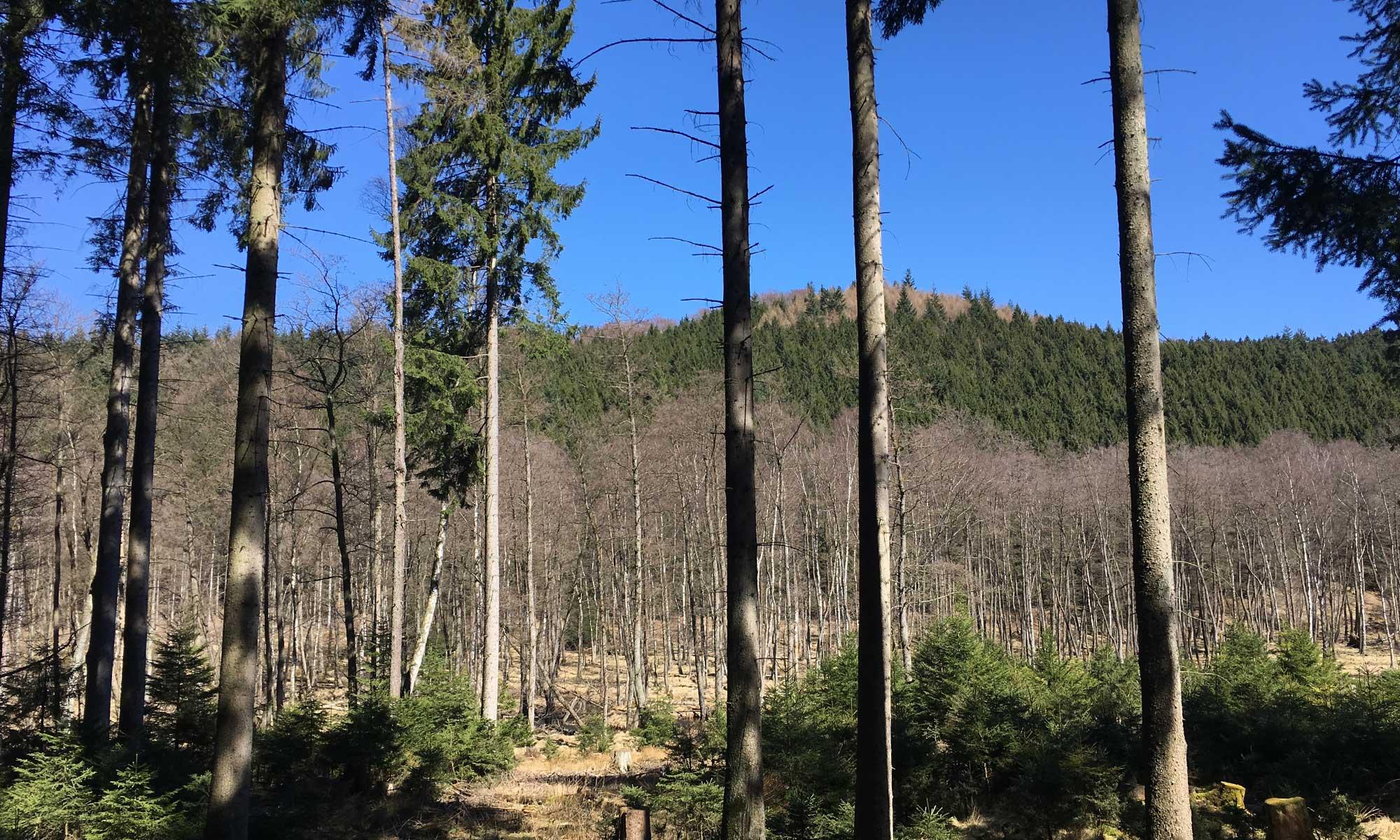 Birken im renaturierten Bachverlauf