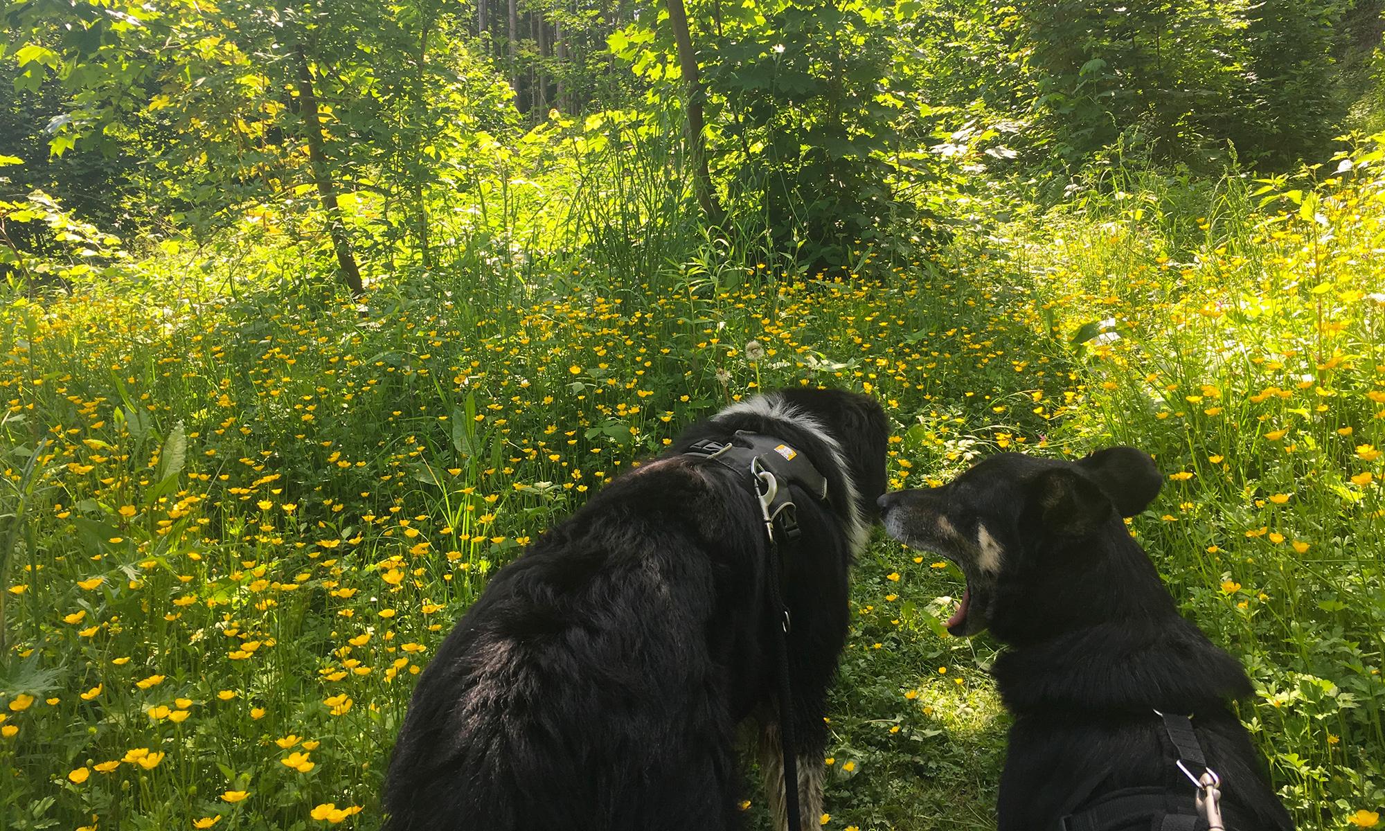Waldlichtung Blumenwiese und Hunde