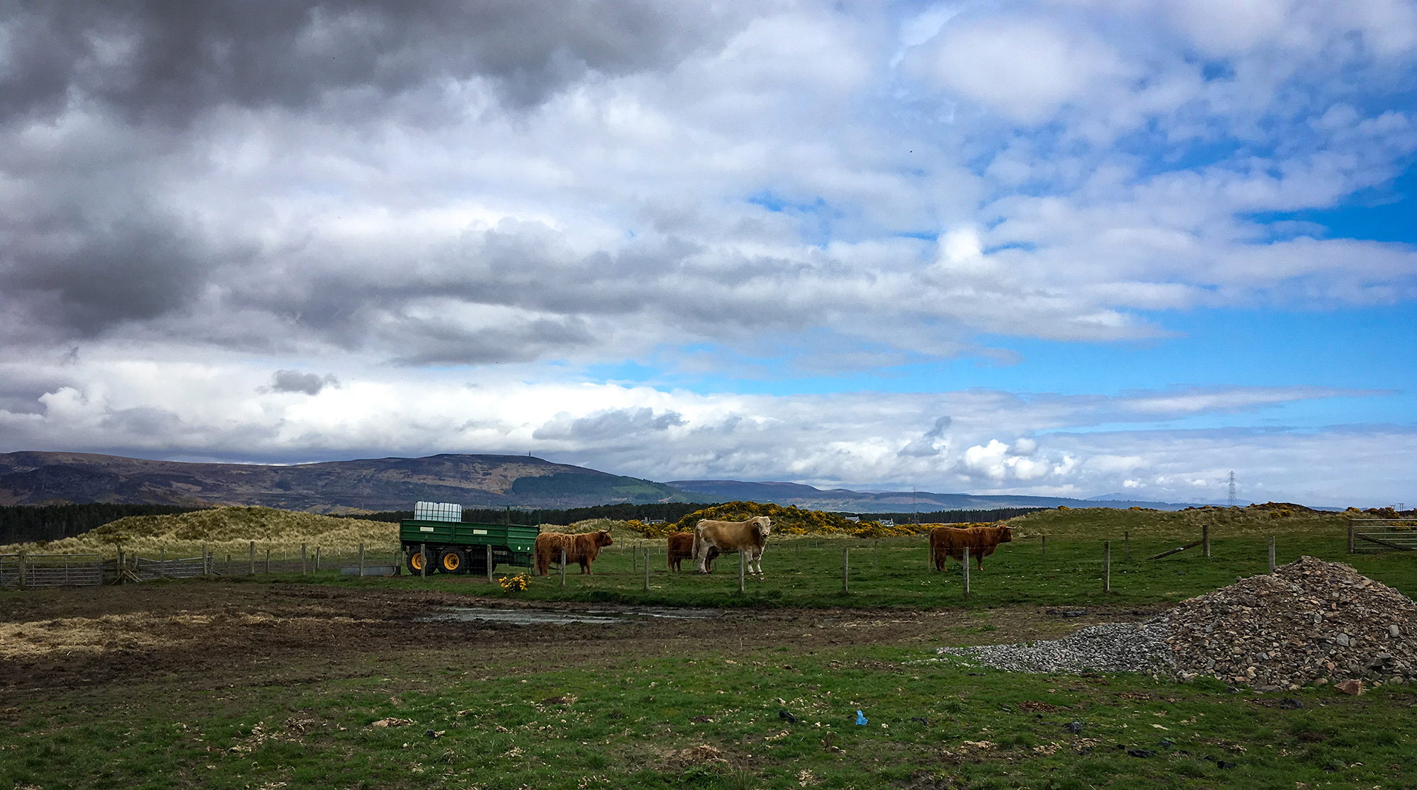 Highland Cows am Loch Fleet