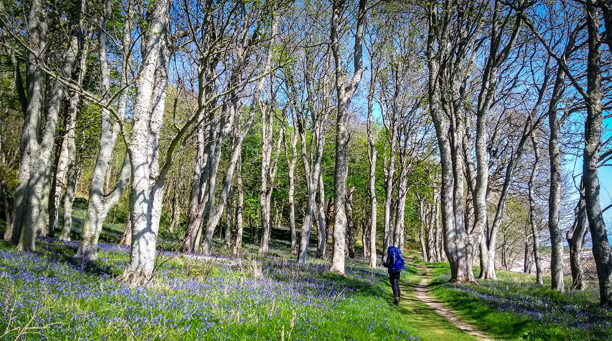 Bäume mit Wanderin und Waldhyazinten Meer