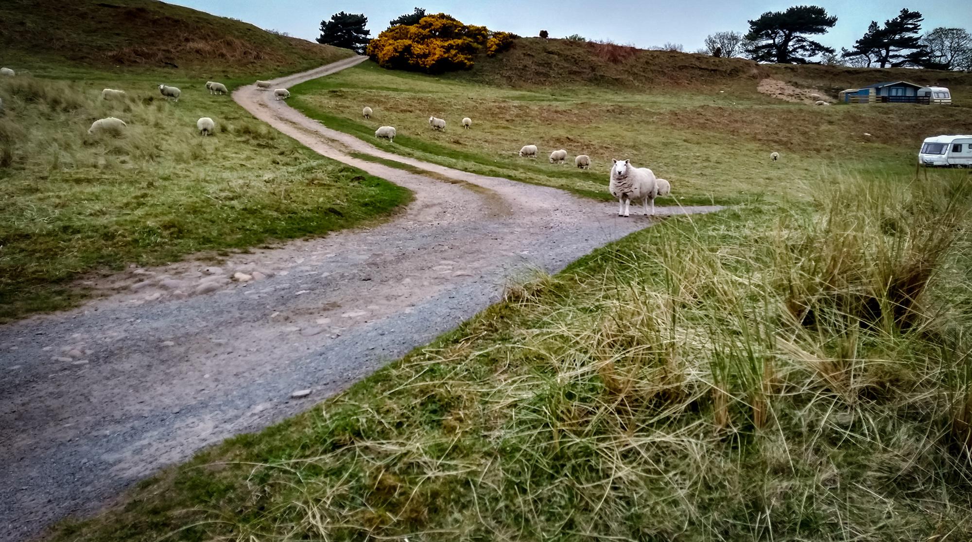 Schafe auf einem Campingplatz