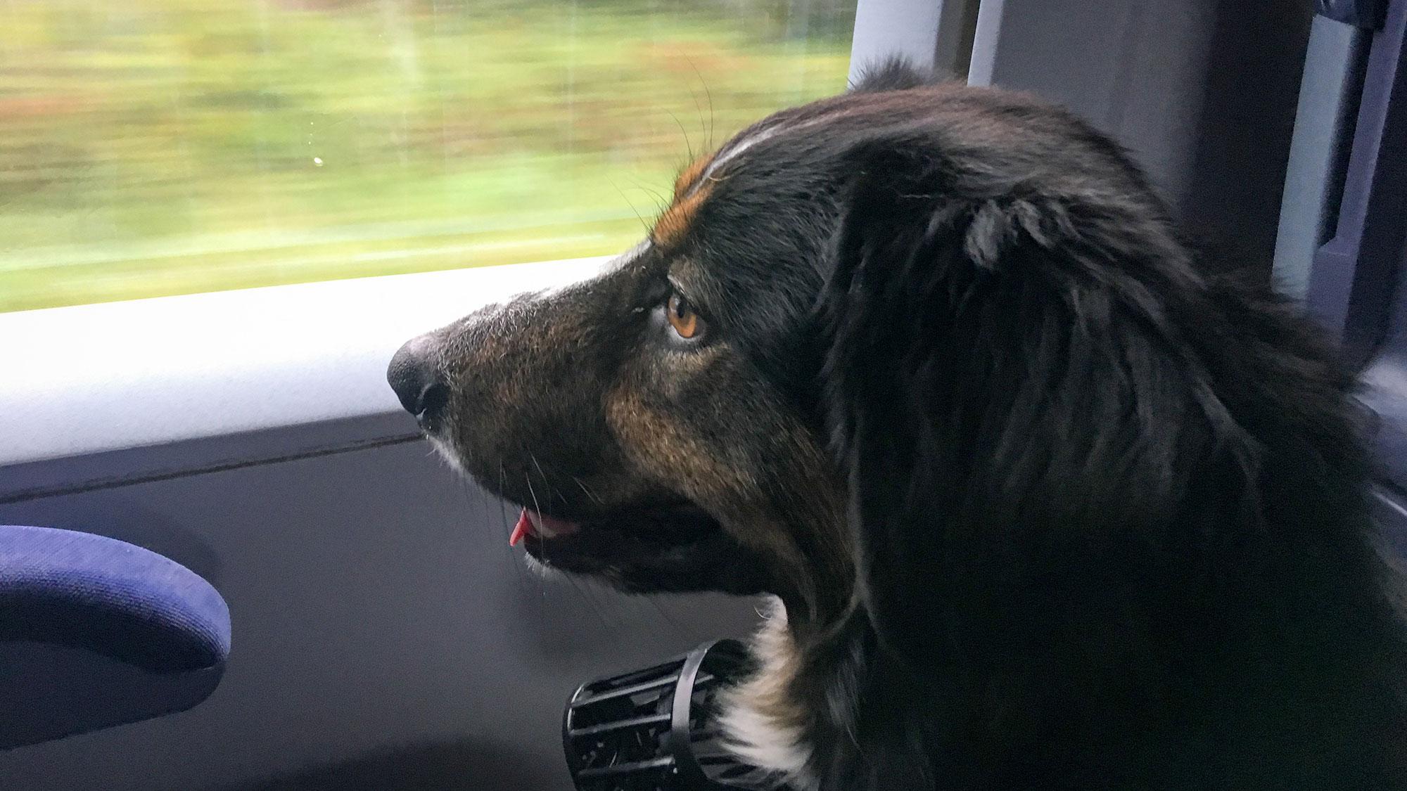 Hund schaut aus dem Fenster eines Zuges - CO2 neutral Reisen