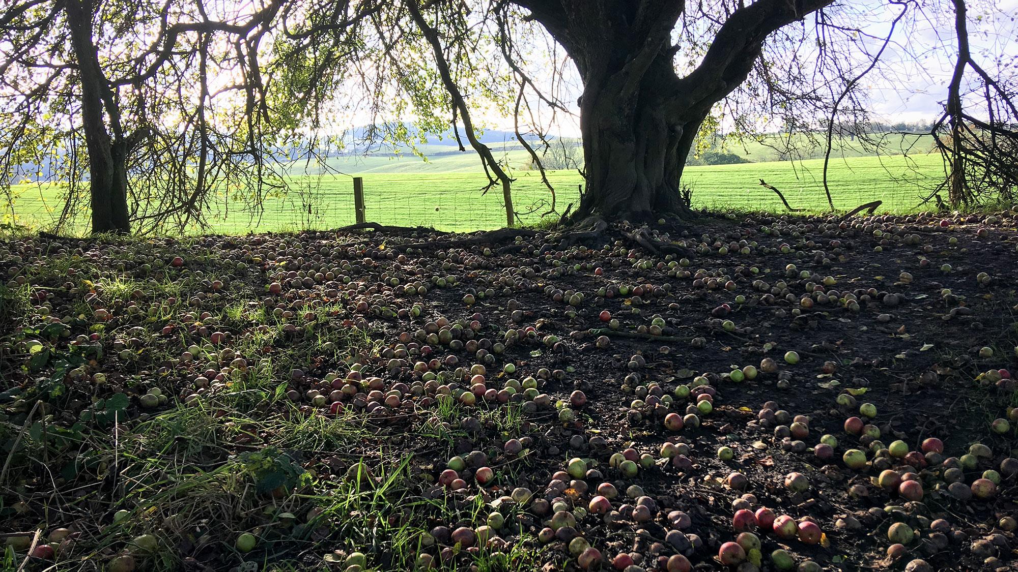 Sehr viele Äpfel unter einem Baum