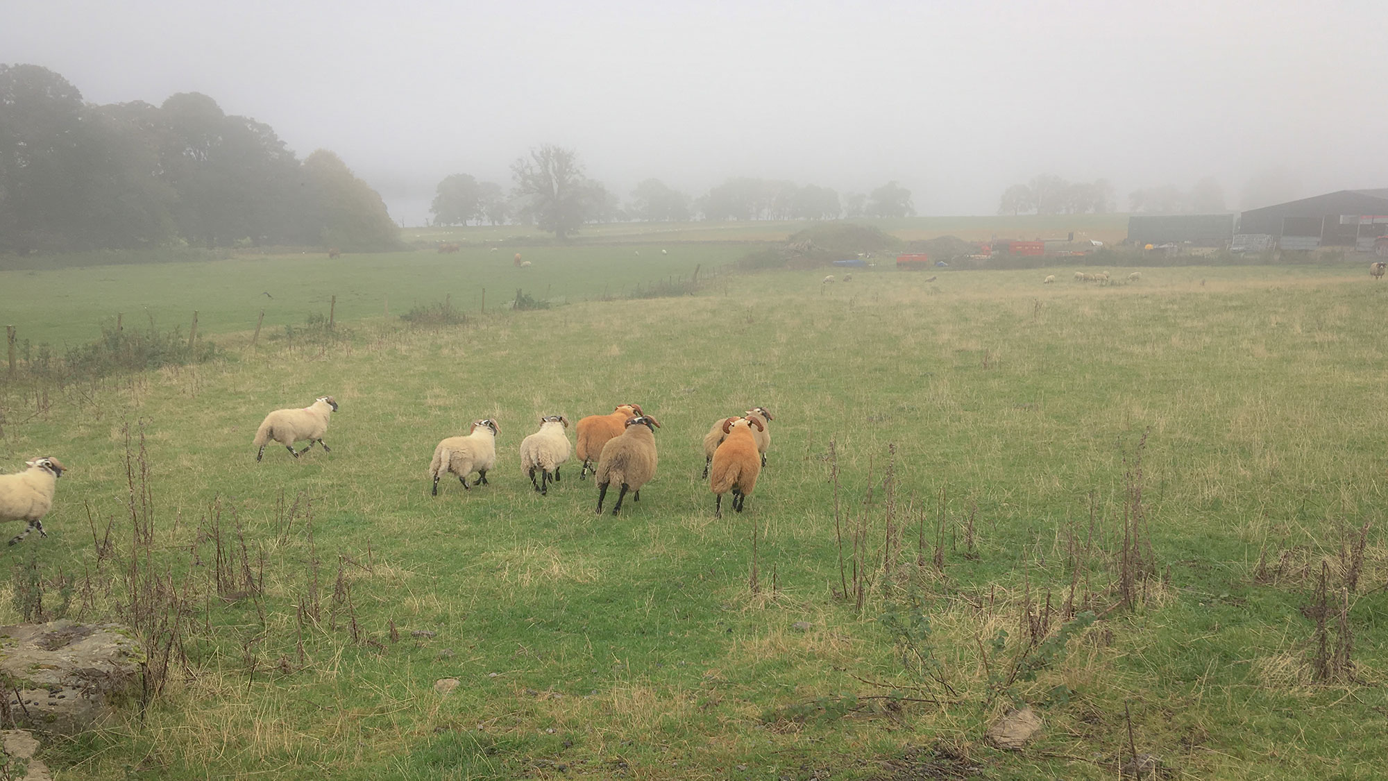 Weglaufende Schafe