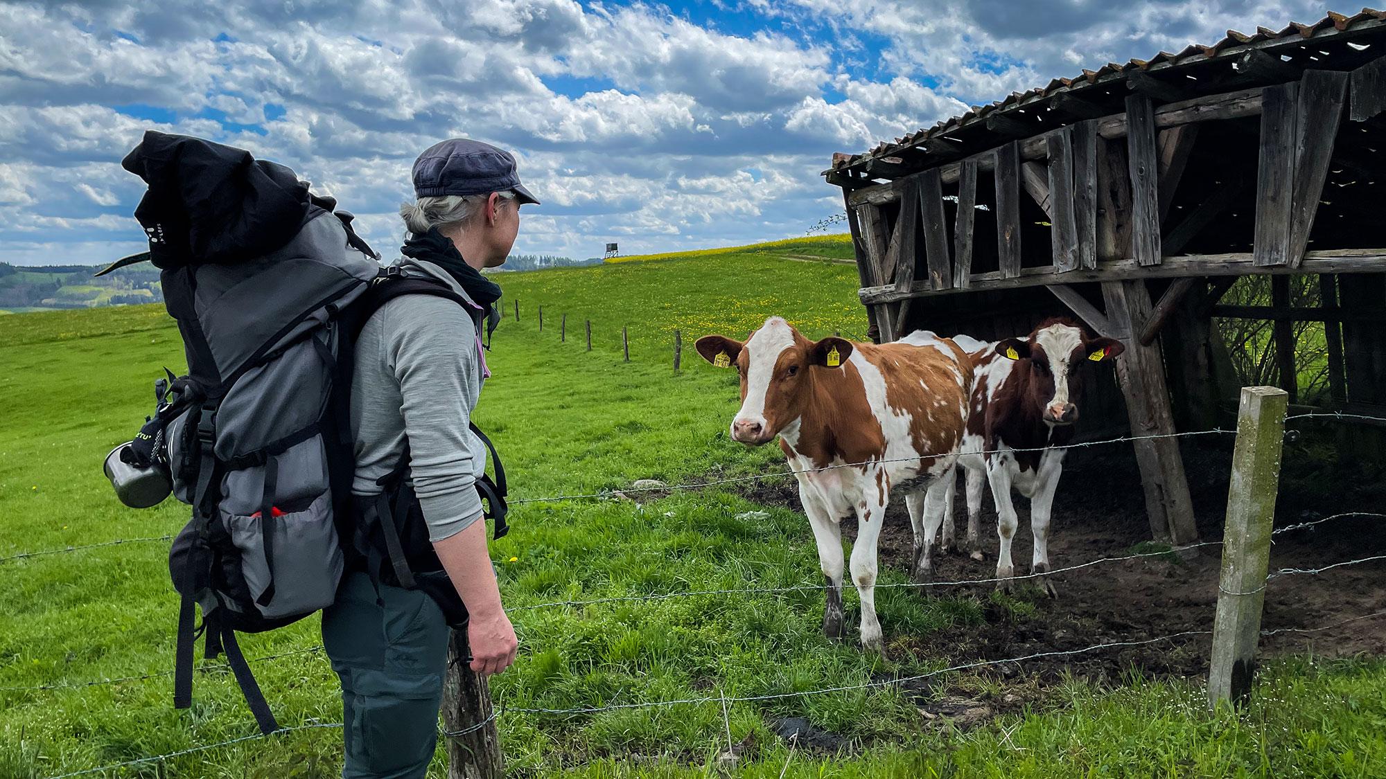 Frau mit Rucksack vor Jungbullen auf dem Uplandsteig